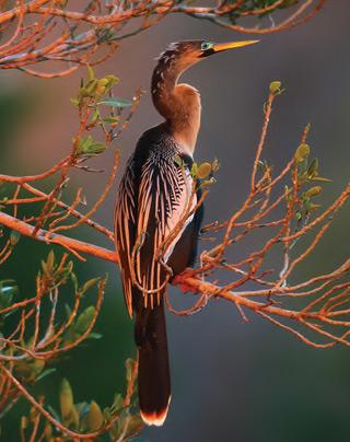 Brown Stork